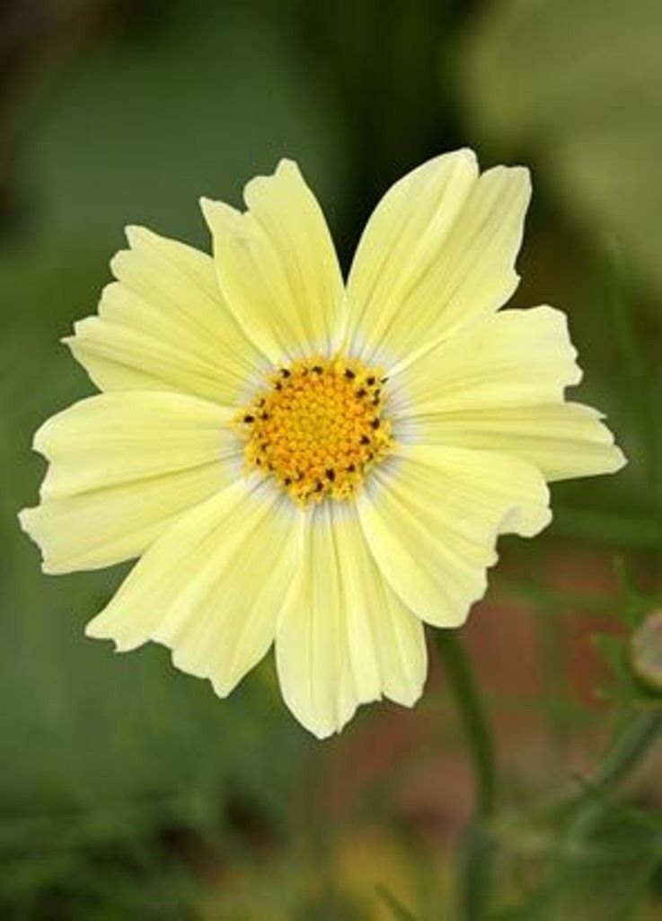 Cosmos Flowers Seeds Yellow One Of The Most Popular Annuals Flowers To Grow Cosmos Flowers Annual Flowers Flower Seeds