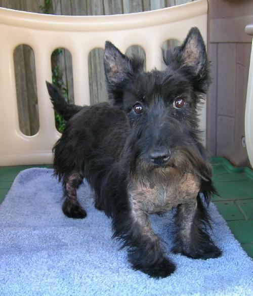 Meet Bailey A Petfinder Adoptable Scottish Terrier Scottie Dog