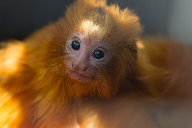 Pin it Like ImageGolden Lion Tamarin Babies