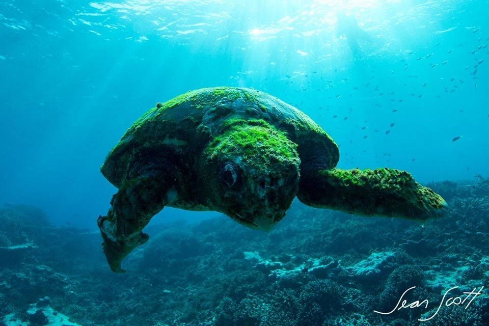 Turtle claimed to be over 100 years old, Southern Great Barrier Reef. Photo: © Sean Scott