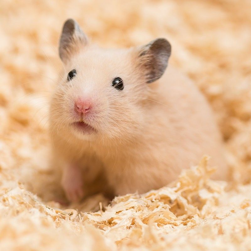 Hamsters From The Wild To Your Bedroom Hamster Cute Hamsters