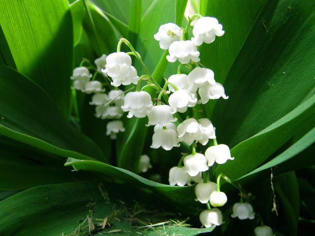 Lily of the Valley are actually poisonous to eat, so do not let young children or animals have access to them....