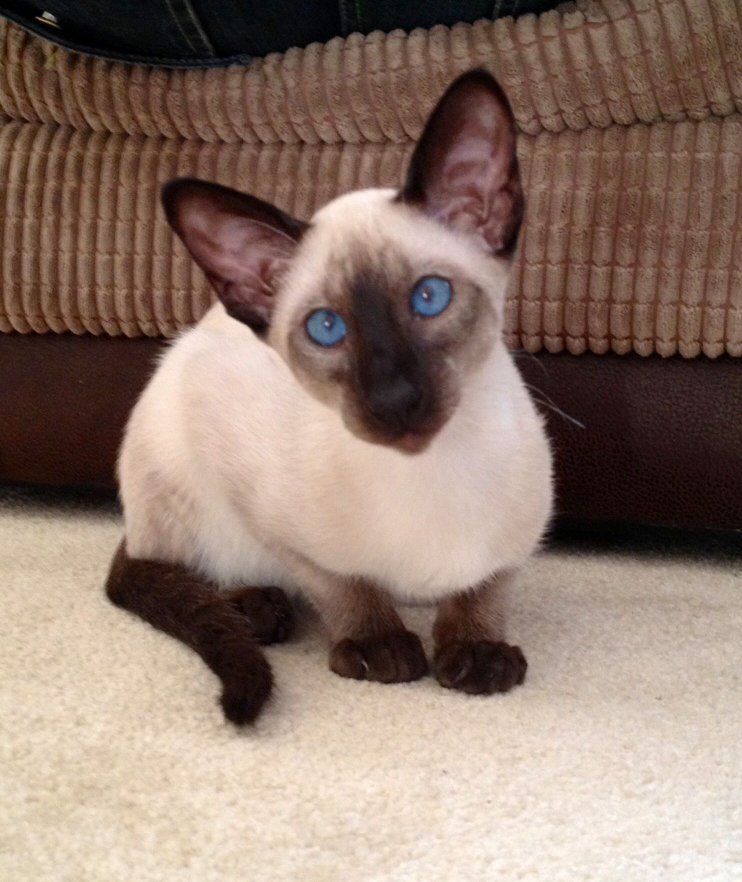 Siamese Kitten Siamese Cats Blue Point Siamese Cats Cats And Kittens