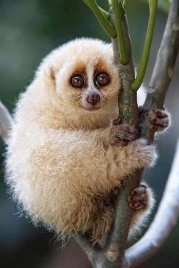 Slow Loris! | Cutest Paw