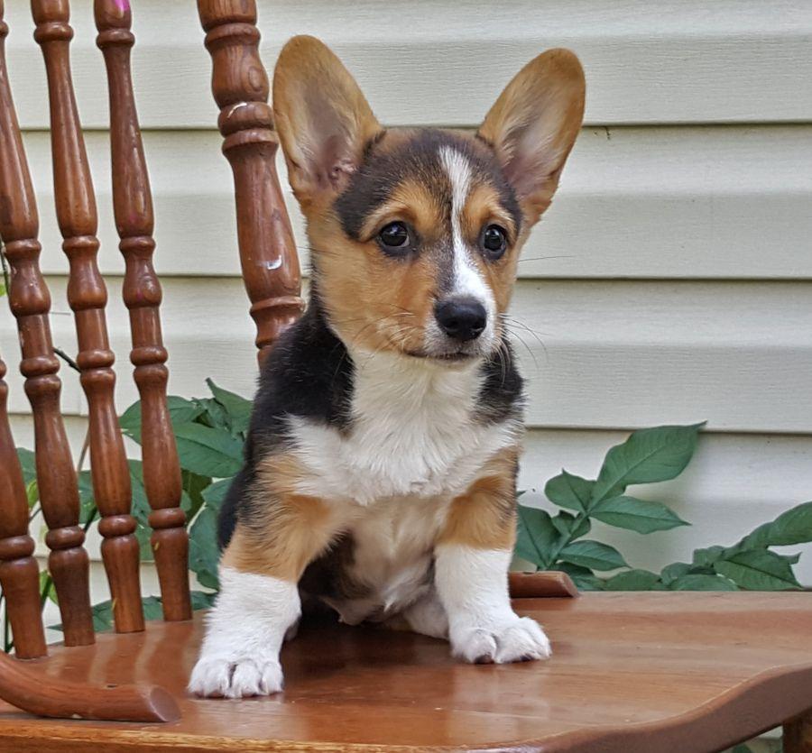 Pembroke Welsh Corgi Puppies For Sale In 2020 Welsh Corgi Puppies Corgi Puppies For Sale Pembroke Welsh Corgi Puppies