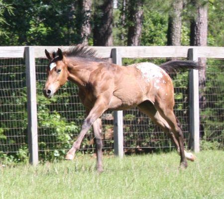 Appaloosa Horses for Sale   Dugan (Barn Name) Registered ...