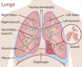 diagram of inside the lungs wiring diagram read Diagram of Inside of the Liver