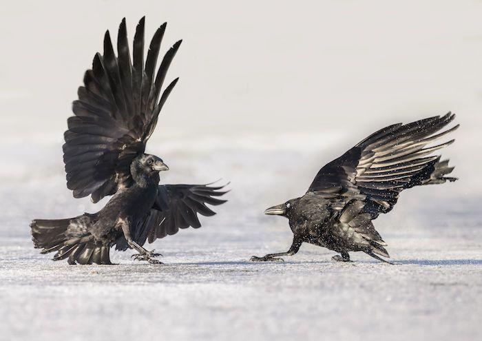 Crow Spirit Animal Cuervo
