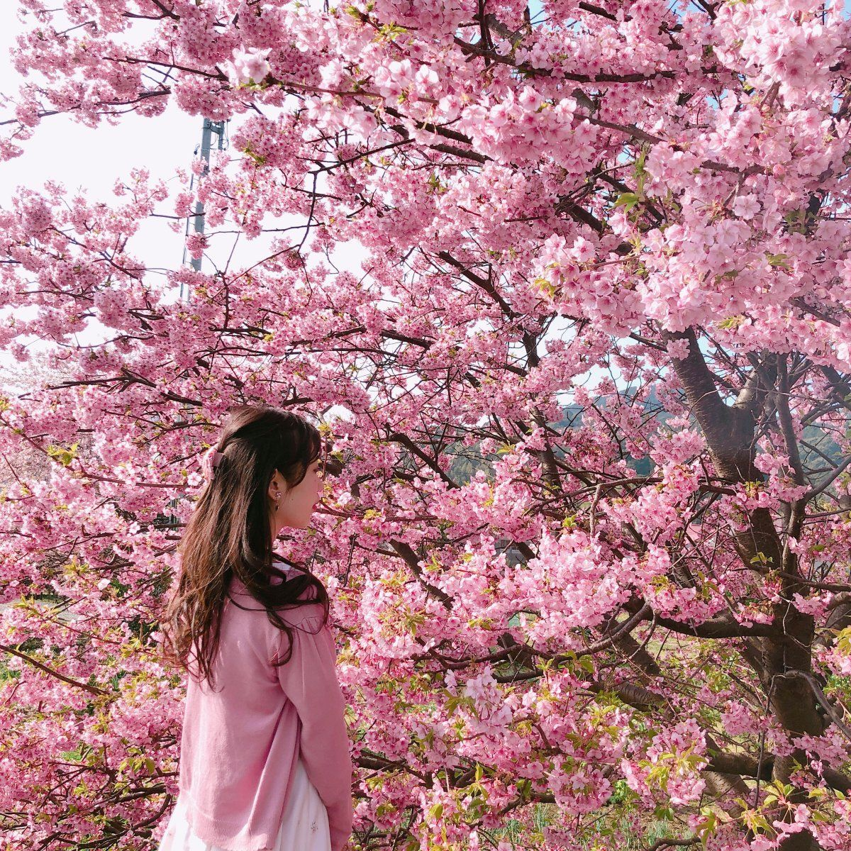 Cherry Blossoms In Japan 2020 Forecast The Dates Top 10 Best Places To See Cherry Blossoms In Japan Living Nomads Travel Tips Guides News Informat