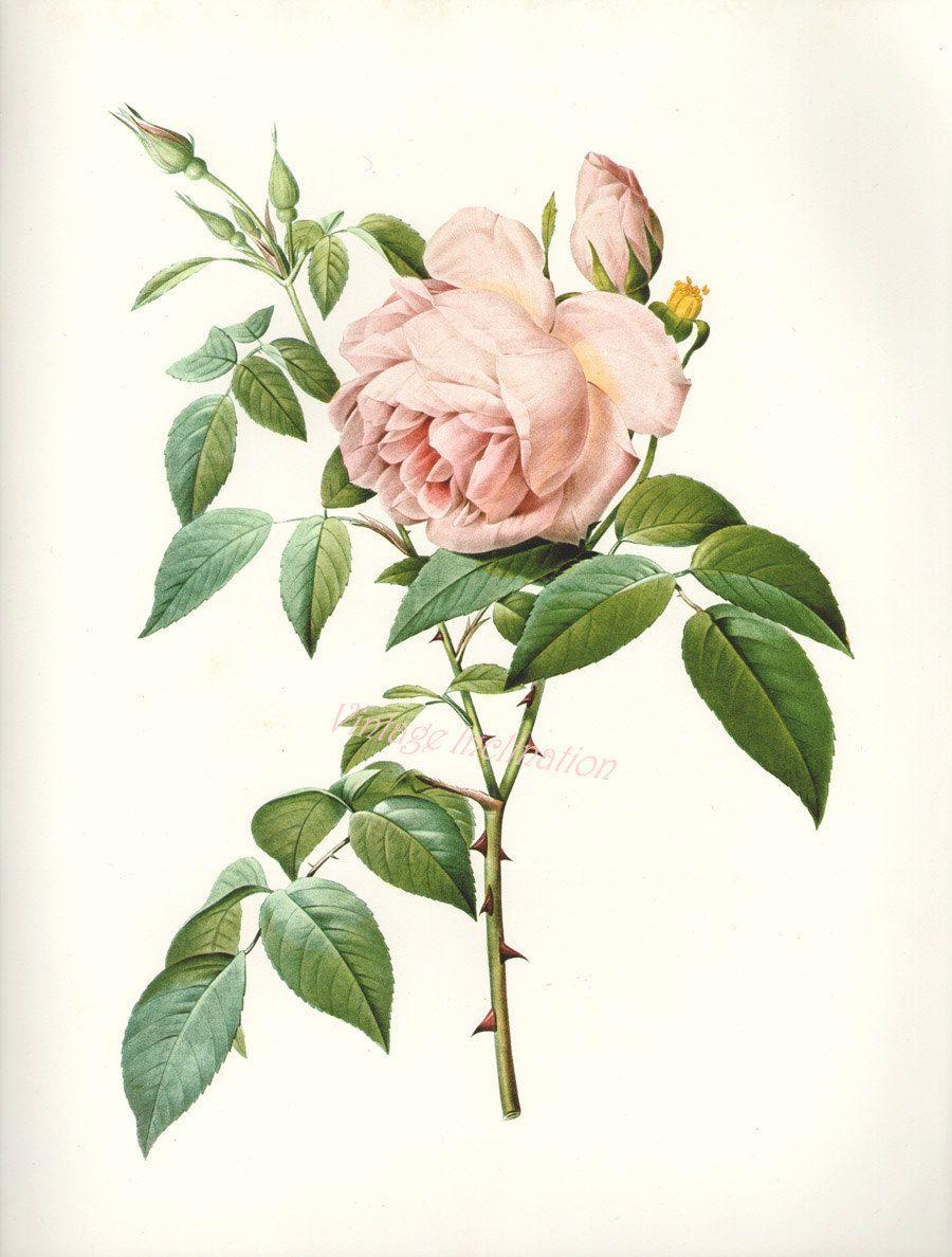 Tea Rose Botanical Illustration Tea Rose Pinterest Botanical