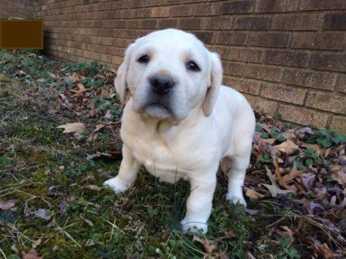Labrador Retriever Puppies With Full Akc Registration White Champagne Silver Factored Recessive English Blocky Heads Excell Labrador Retriever White Labrador Puppies
