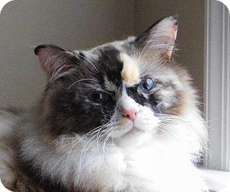 Ragdoll cat adoption nc