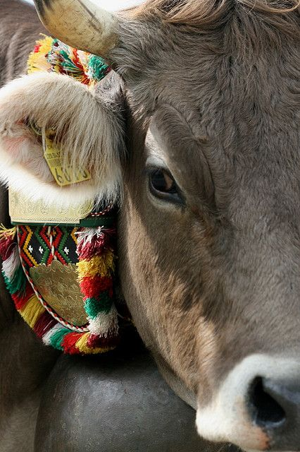 Desalpe Alpabzug Oberefahre Mit Bildern Pluschkuh Kuh Almabtrieb