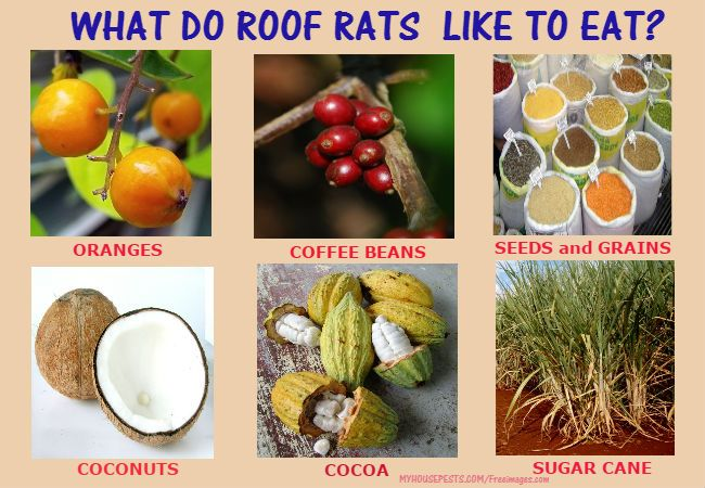 Roof Rats Reside In Upper Floors Damage Food And Crops Carry Roof Rats Rats Food