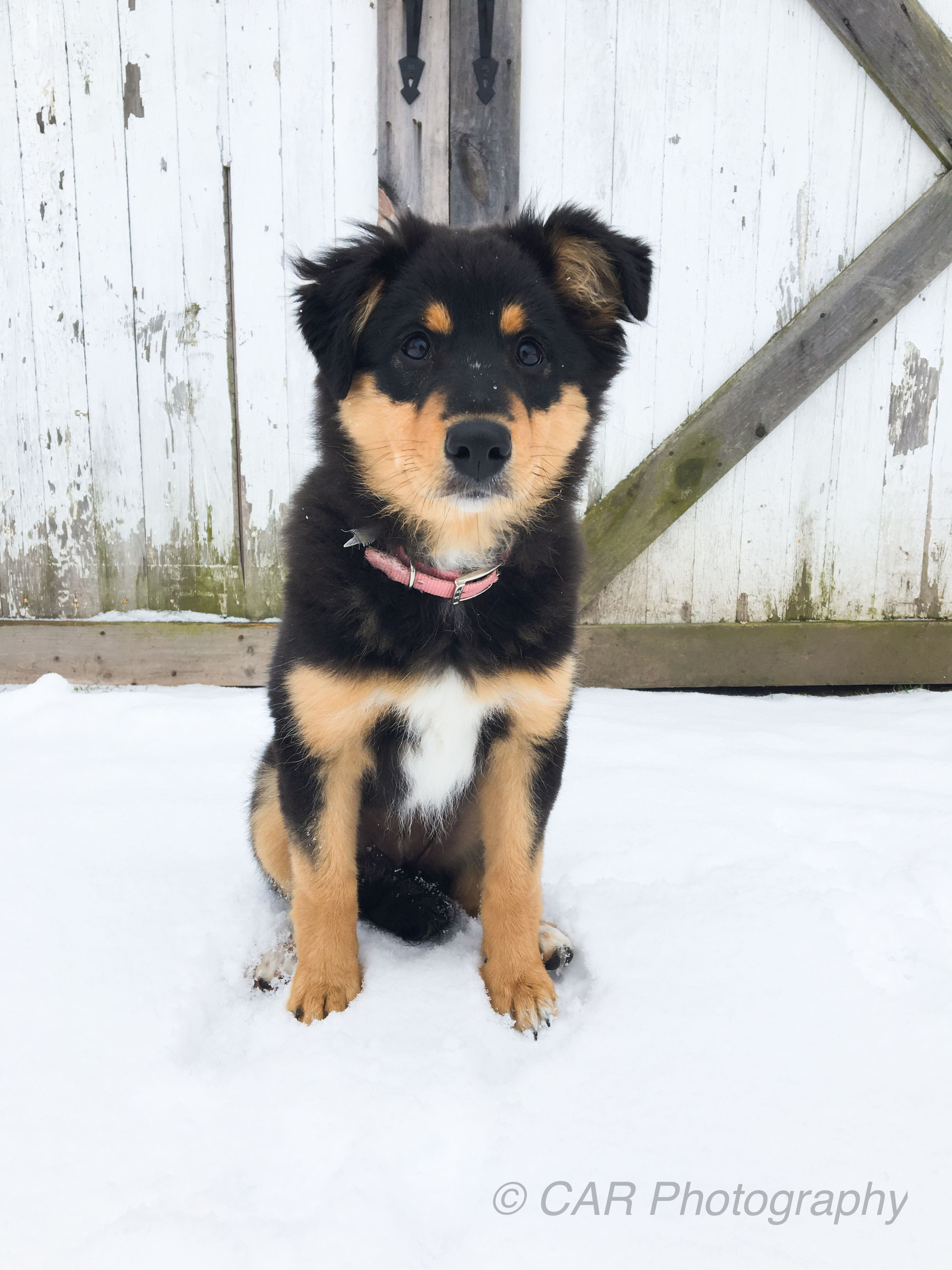 15 Week English Shepherd Border Collie Mix English Shepherd