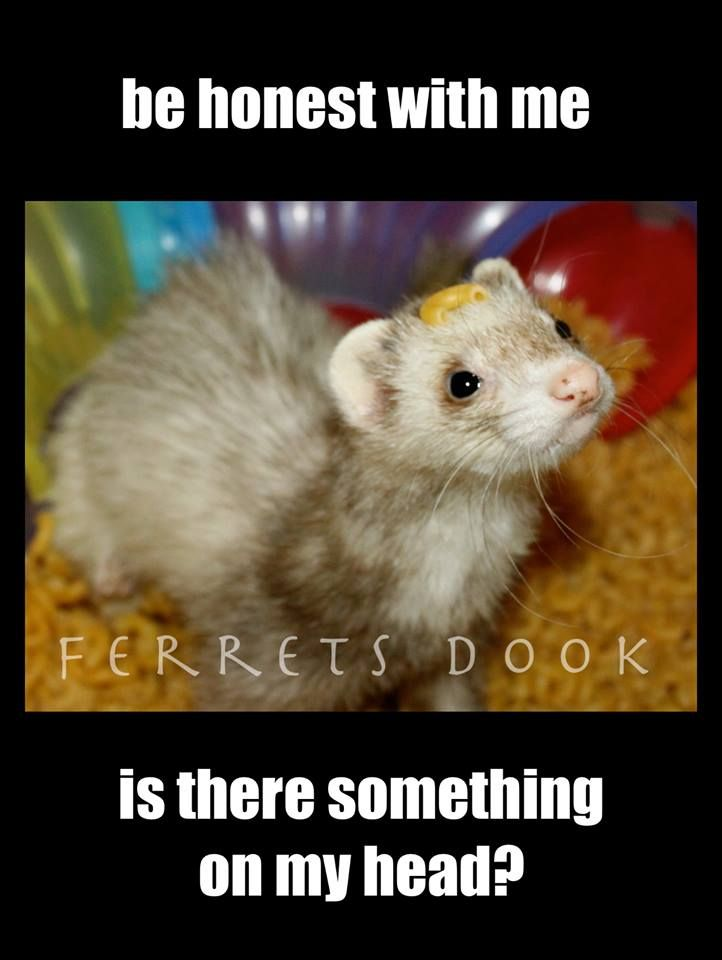 pin ferret meme on - photo #27