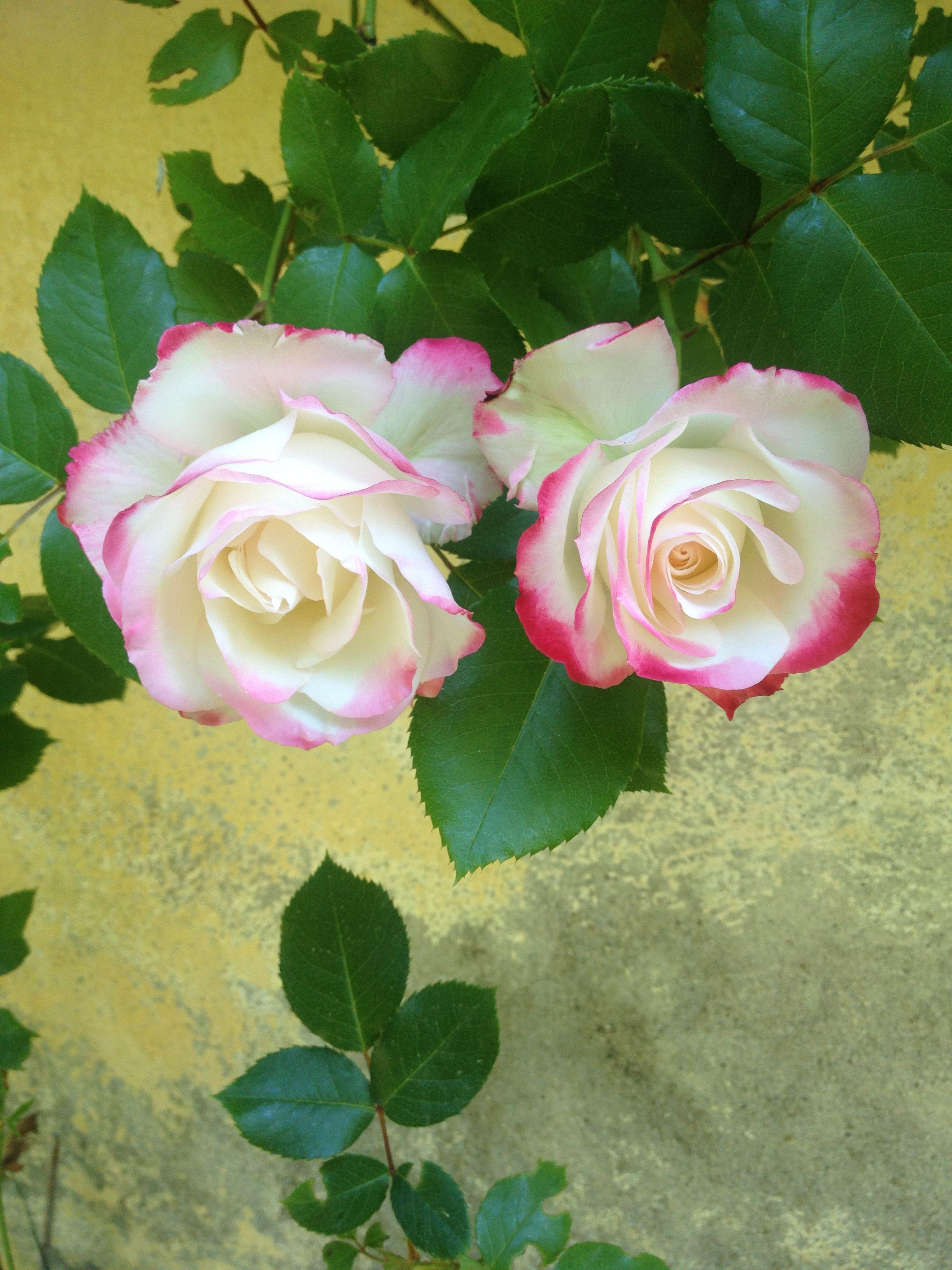 Rose Jubilee Prince of Monaco