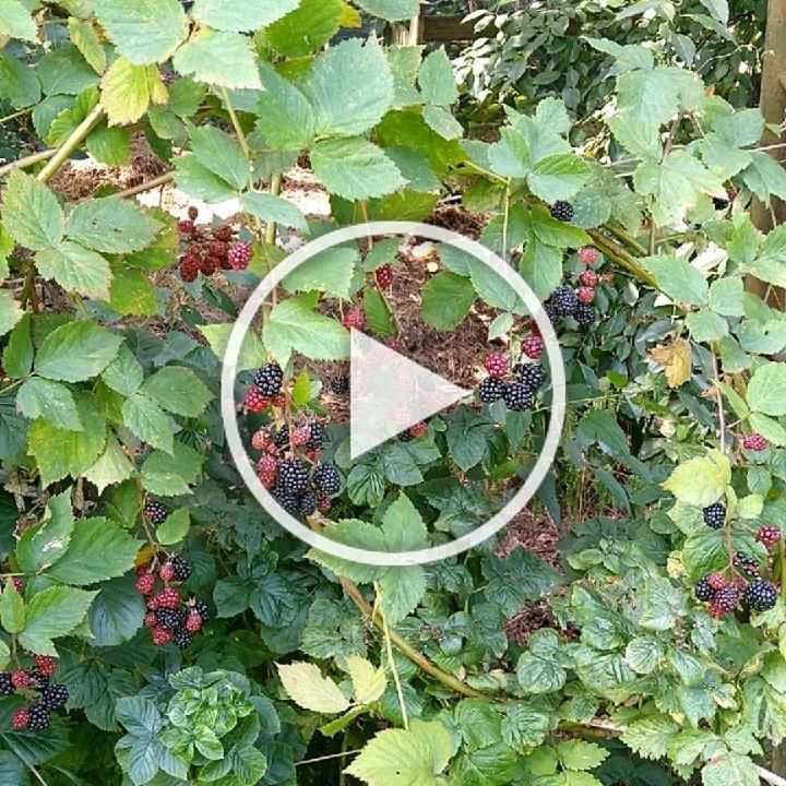 #gardeninspiration #gardendesign #gardenloversofinstagram #fruitgarden #blackberries #blackberries🍇 #blackberriesfordays #wiemcojem #wiemcodobre #mygarden #garden #mygardentoday #garden_styles #gardenstyle #gardening #gardening_feature #gardenphotography #motorolapolska #motorolaphotography  #motog7 #motog7plus #motorola  Zbiory z mojego ogrodu zawsze cieszą 😁�
