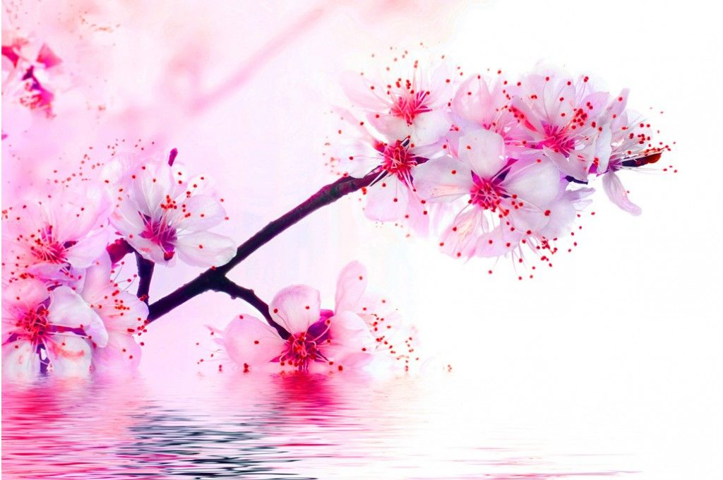 fleurs de cerisier sakura en fleurs tatouage fleur de. Black Bedroom Furniture Sets. Home Design Ideas