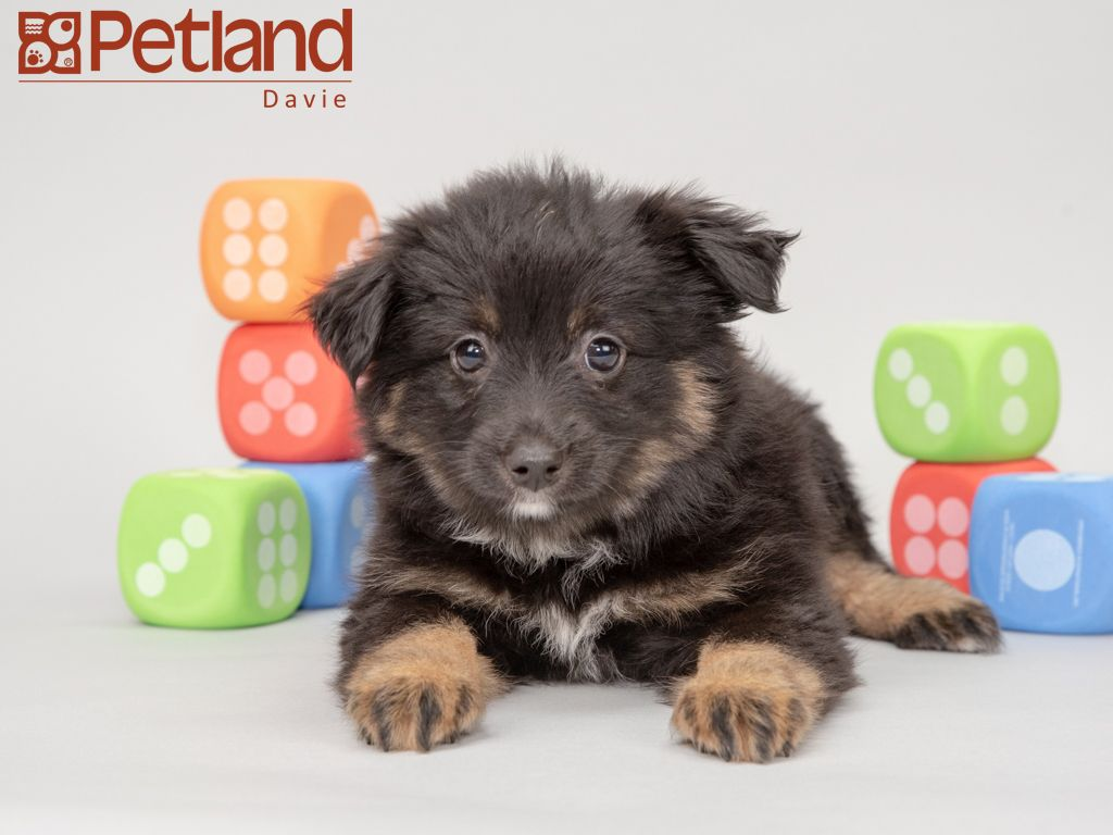 Petland Florida has Miniature Australian Shepherd puppies