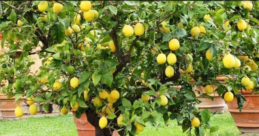Consejos de cultivo y cuidados para los limoneros m s - Como cuidar las hortensias en maceta ...