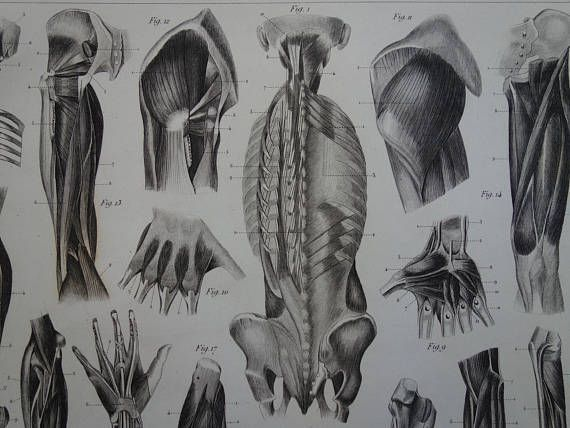 MUSCLES antique anatomy print 1849 old anatomical poster with | Old ...