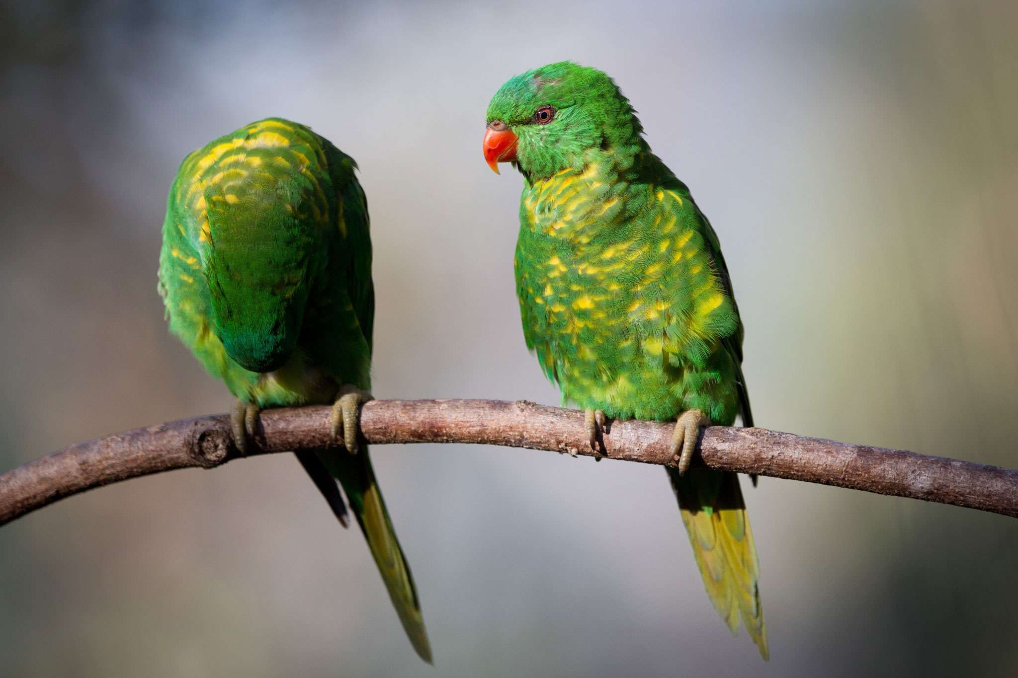 Birds Scaly Breasted Lorikeet2 Jpg 2048 1365 Budgies Colorful Birds Parakeet