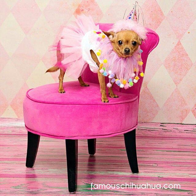 Chihuahua Halloween Costume Cute Chihuahua Chihuahua Chihuahua