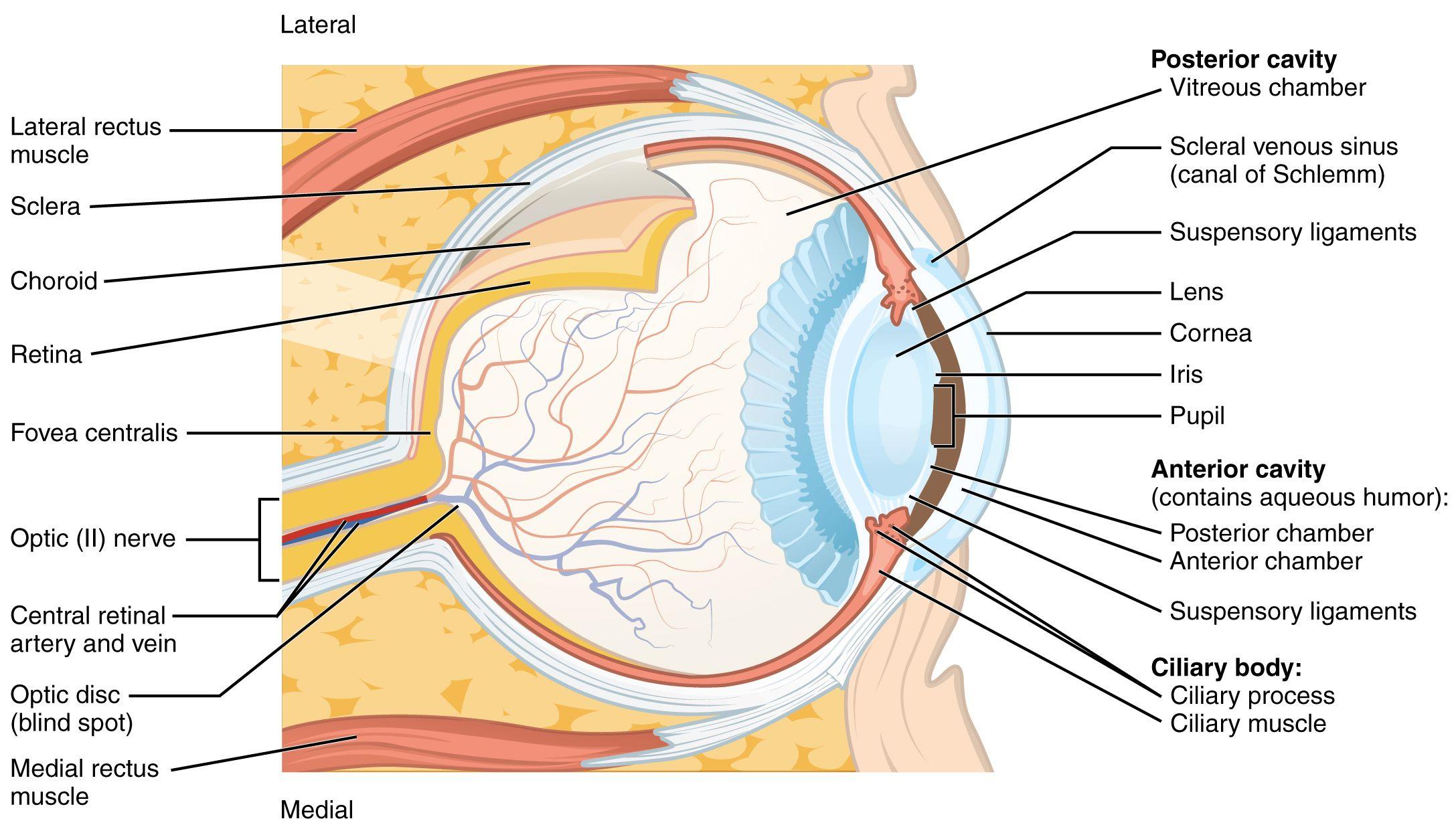 Image result for eyelid anatomy upper | Anatomy | Pinterest | Anatomy