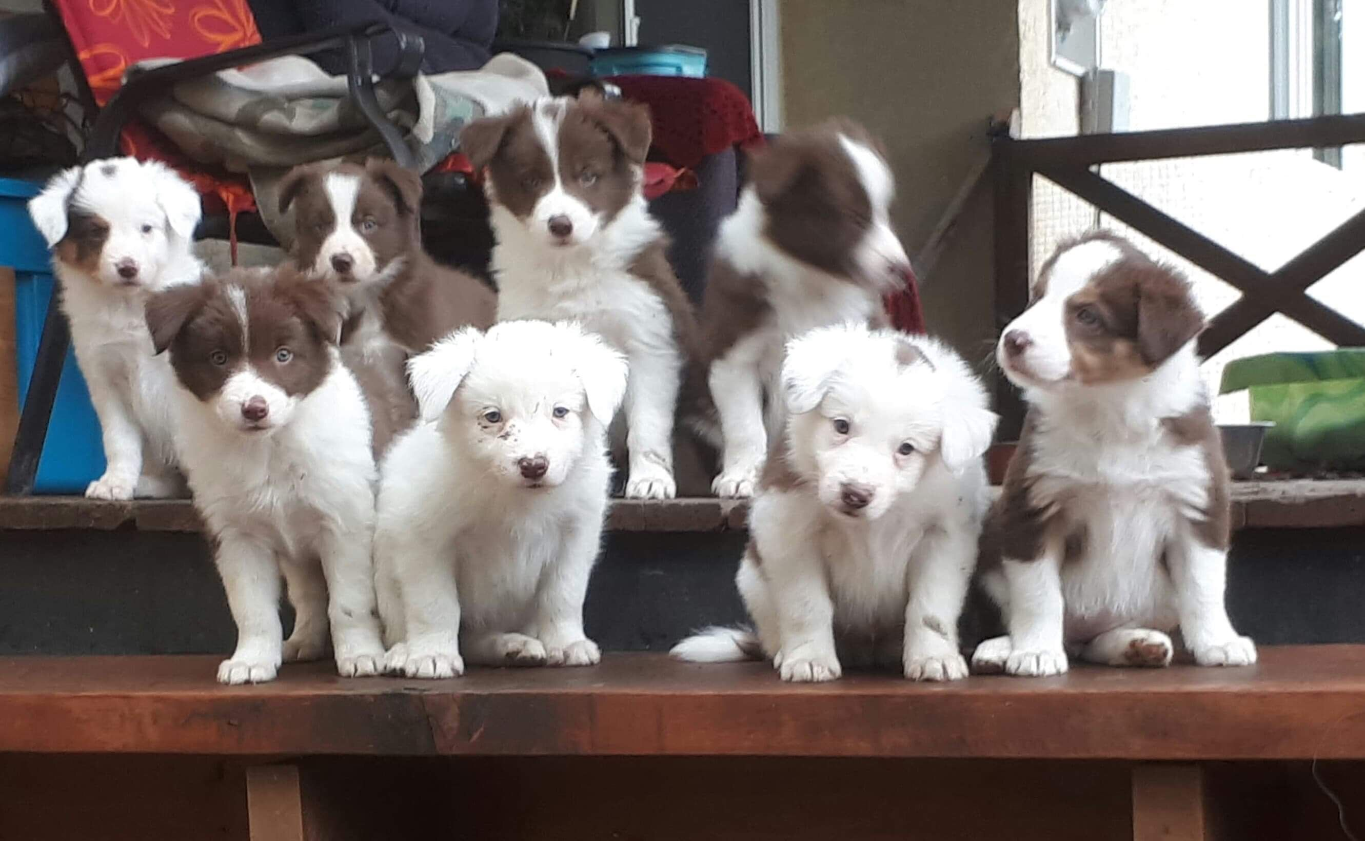 Border collie puppies i want them all collie puppies