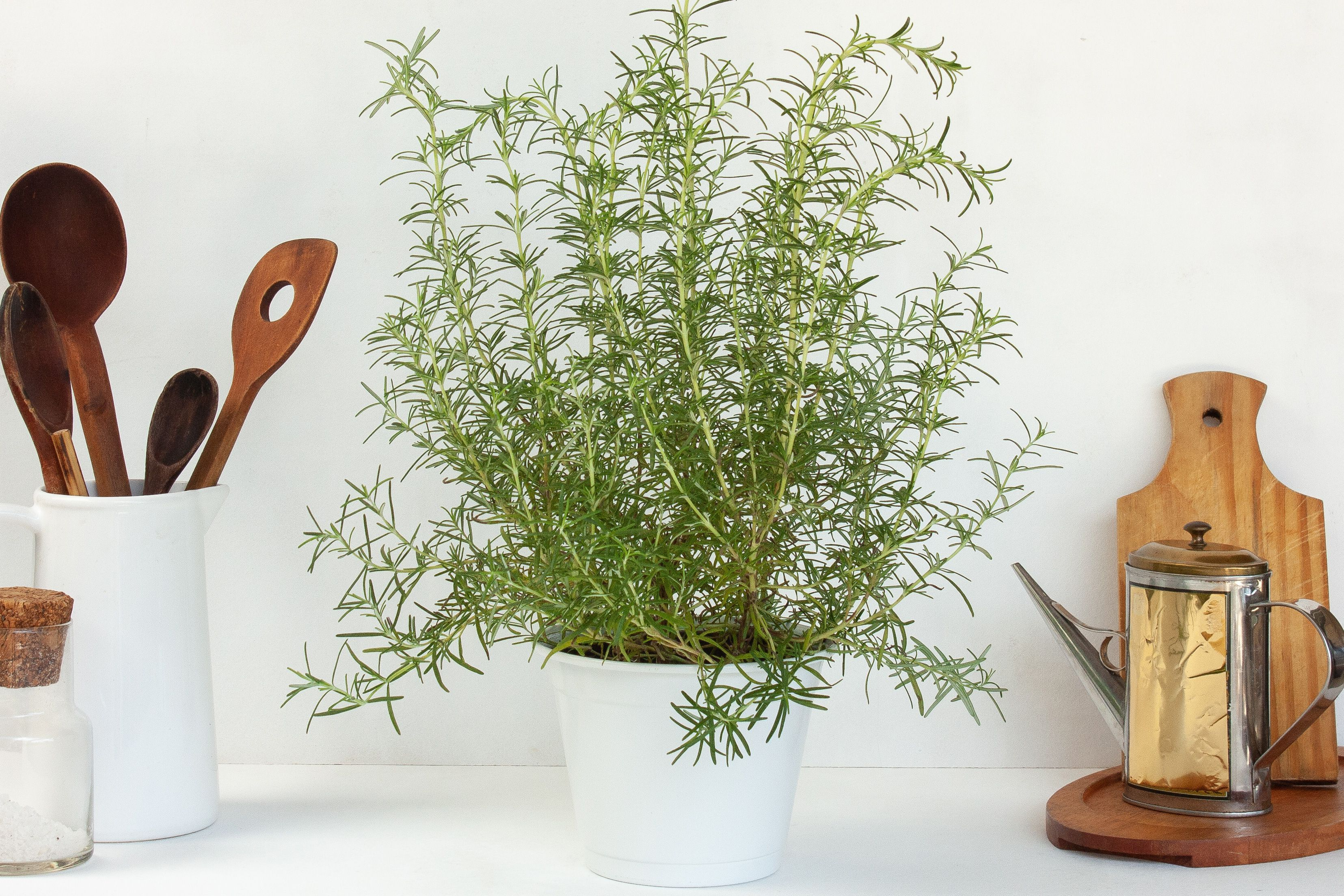 Growing rosemary plants indoors in 2020 rosemary plant