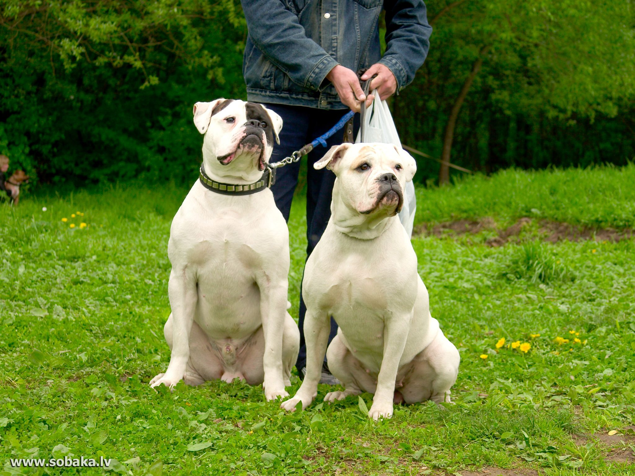 pinalex bazhan on Х american bulldog | pinterest | dogs, bulldog