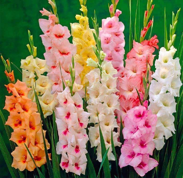 Rainbow Mix Gladiolus Bulbs Flower Perennial Resistant Fragrant Fresh Gift Plant