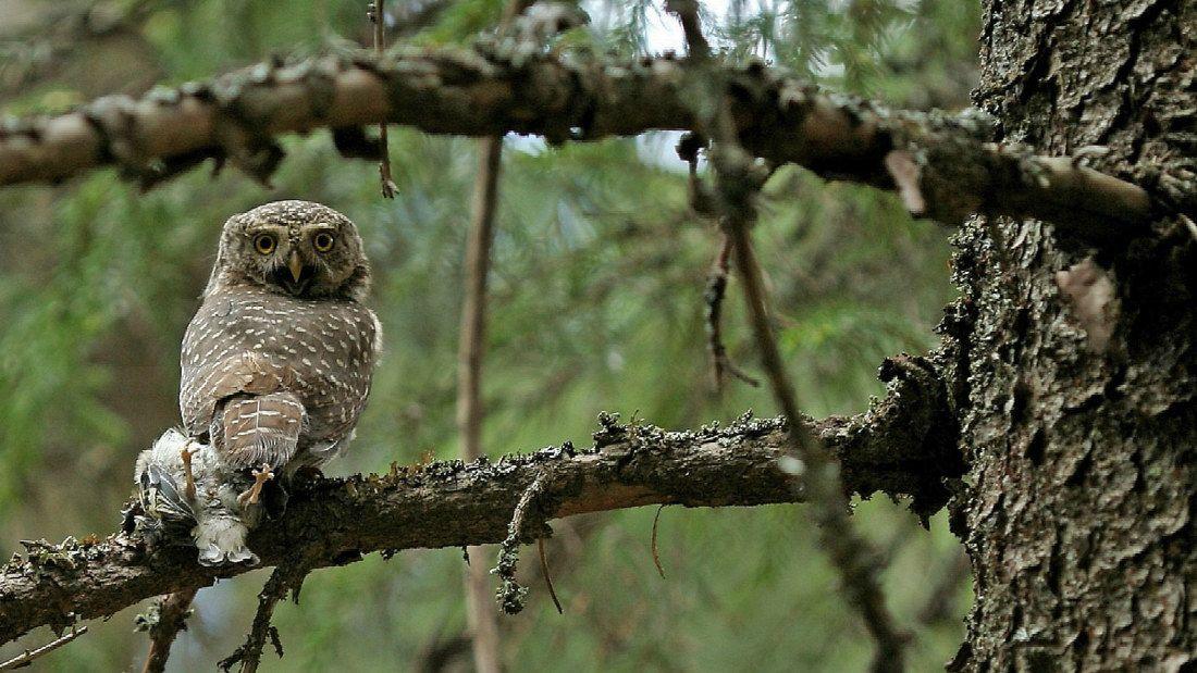 Pygmy owl hunting