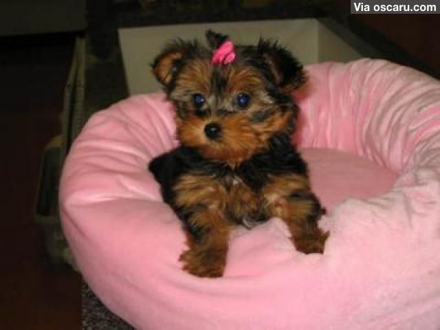 Supper Cute Male And Female Teacup Yorkie Puppies For Adoption