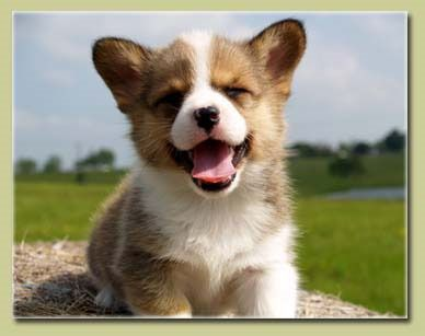 I want a corgi puppy!