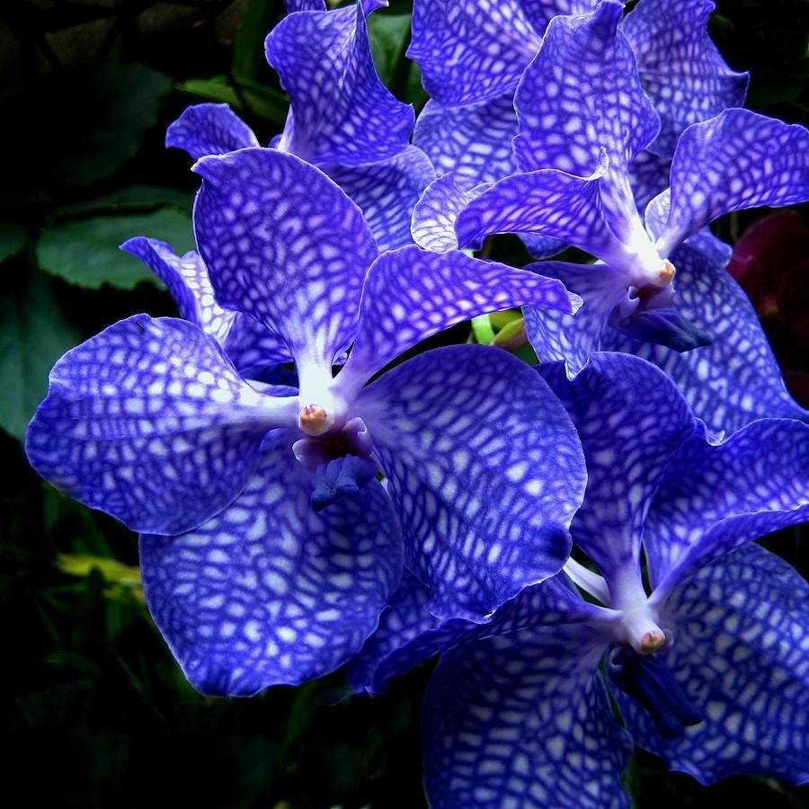 List of the best types of orchids blue purple pinterest vanda list of the best types of orchids izmirmasajfo Gallery