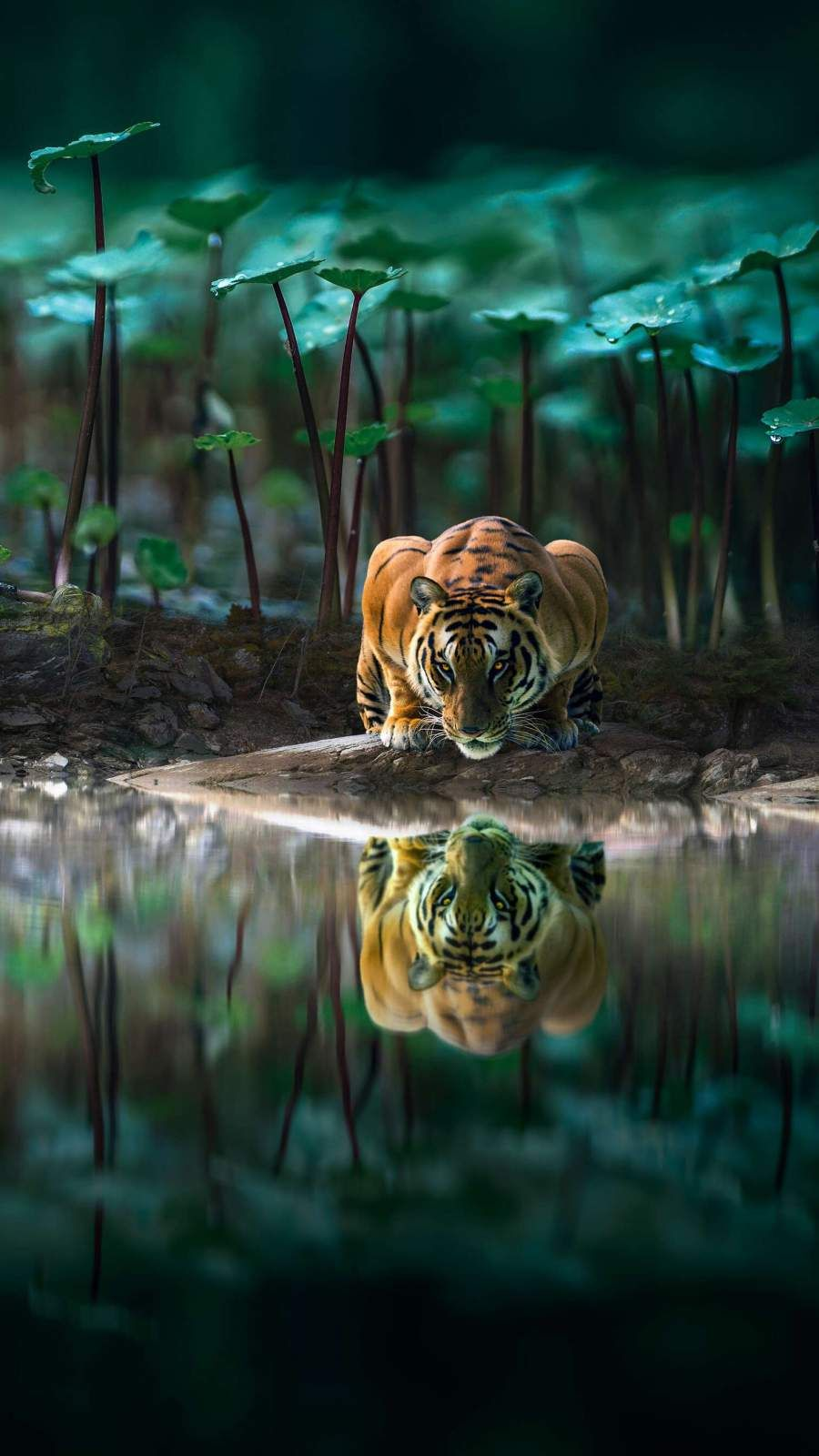 Tiger Reflection In Water Iphone Wallpaper Water Reflections Iphone Wallpaper Iphone Wallpaper Images