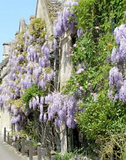 Wisteria Burford In The Cotswolds Uk Wisteria Burford English Country Gardens