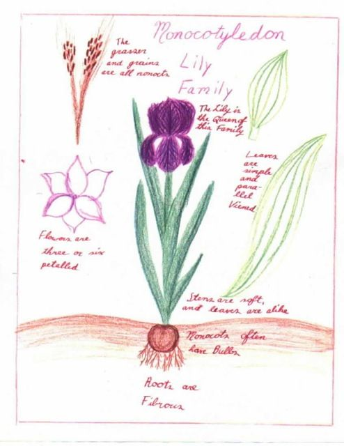 Waldorf ~ 5th grade ~ Botany ~ Monocotyledons ~ main lesson book