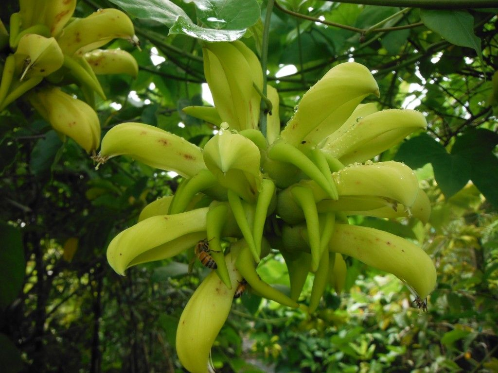 Mucuna Sloanei Or Yellow Jade Vine Yellow Flowers With Lime Green