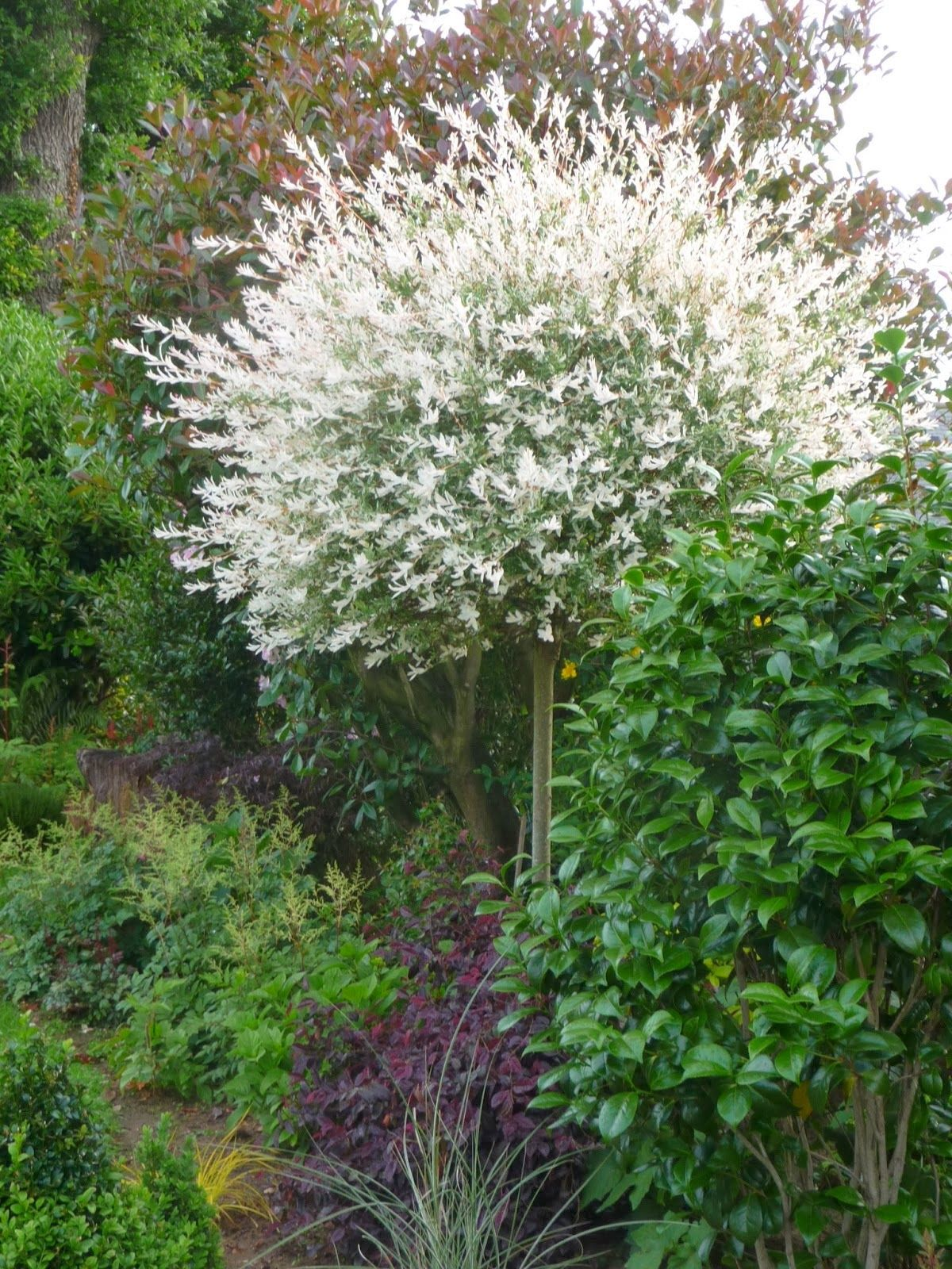 saule crevette | arbres et arbustes de mon jardin | Pinterest ...