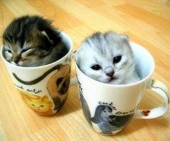 tea cup kittens