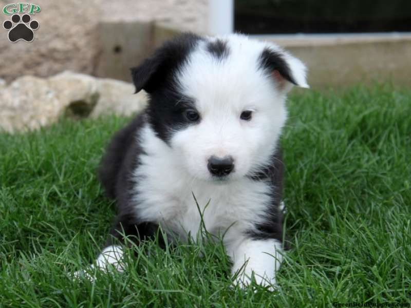 Buster Border Collie Puppy For Sale From Christiana Pa