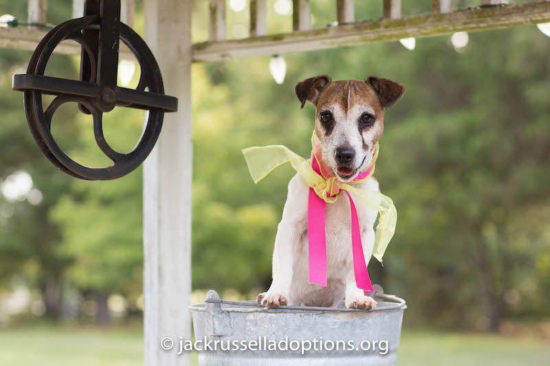 Georgia Jack Russell Rescue, Adoption and Sanctuary | Sadie #cutest #adoptable…
