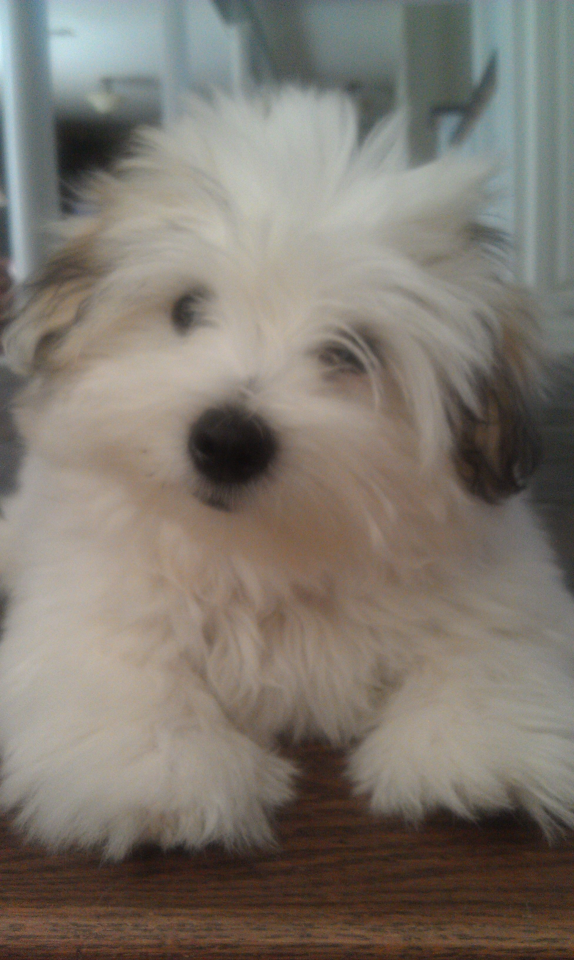 Cheap Havanese Puppies For Sale In Pa