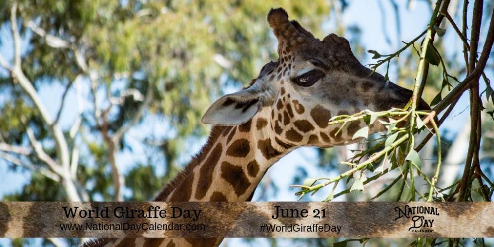 World Giraffe Day June 21 National Day Calendar Giraffe Giraffe Facts Detroit Zoo