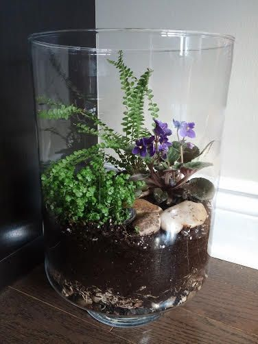 Open Terrarium With African Violet Baby Tears Soleirolia