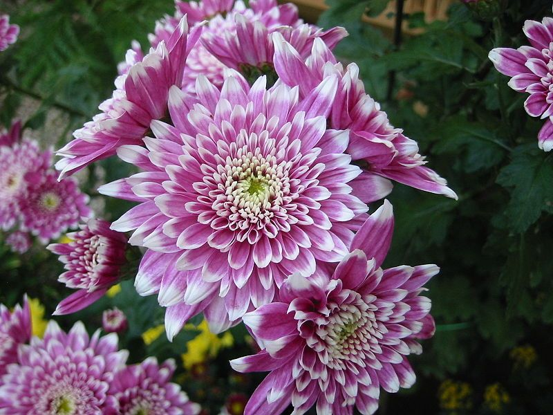 Chrysanthemum November birth flower. Meaning