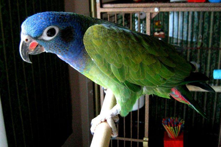 8 Top Gentle Pet Bird Species Best Pet Birds Pet Birds Types